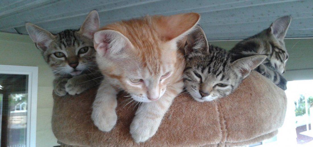 Little Lion Foundation Kitten Adoptions