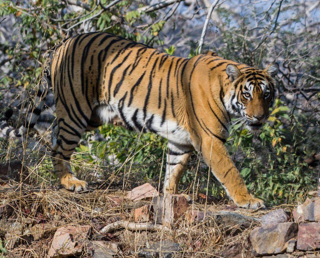 Ranthambore Jungle safari with naturalist Shardul Bajikar