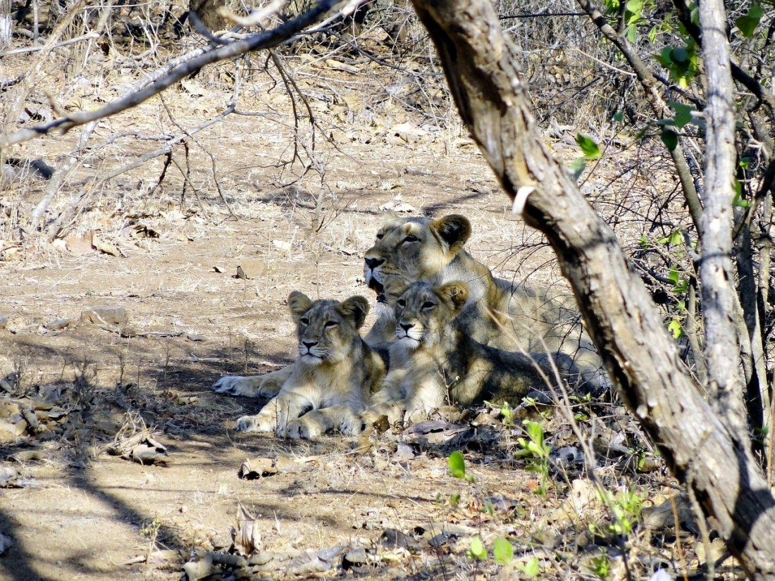 GIR- Only Home to Asiatic Lions