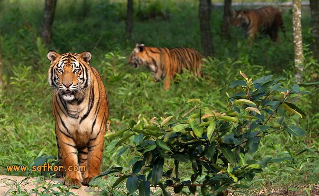 Sundarbans  The land of Royal Bengal Tiger